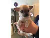 Chihuahua puppies kc registered