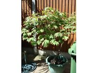 Japanese maple,Acer Aconitifolium specimen tree 5ft6inches high x 4ft6inches spread in pot