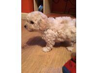 Westie x toypoodle