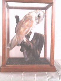 Barn owl in Glass display case