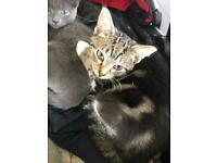 Beautiful main coon x kittens