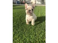 Male french bulldog lilac/tan wrapped in cream