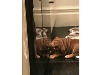 Puppies for sale old tyme bulldogs excellent pedigree choc tri and fawn and whites
