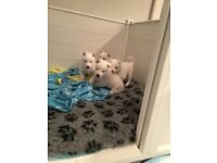 Pure white Female husky pups