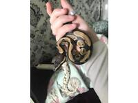 7 month old male python