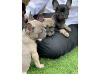 8 beautiful french bulldog puppies