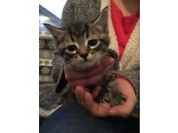 two male tabby/bengal kittens. each 260
