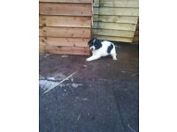 2 Gorgeous, cuddley, fluffy black and white boy collie x spainel pups for sale