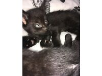 Two beautiful male kittens (brothers)