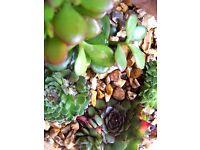 Indoor plants TERRARIUM various succulents