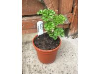 1 large pot of Parsley herb plant