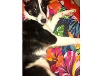 Beutiful, intelligent, tri colour, Border Collie Puppy