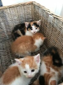 Ginger and white kittens