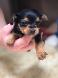 Chihuahua puppies £330