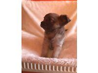 1 Beautiful Show Quality KC Reg Blue Fawn Long Coat Chihuahua