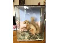 Antique Taxidermy of a red squirrel