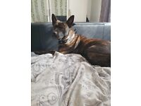 German Shepard/Staffy mix