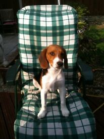 Make Beagle - Joey - 5 Years Old - Fully Neutered - Must go to a loving home!