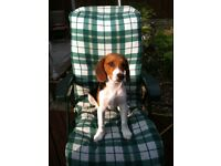 Male Beagle - Joey - 6 Years Old - Fully Neutered - Must go to a loving home!