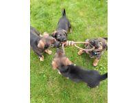 Rottweiler x alsatian (GS) puppies