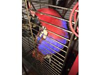 ELECTUS PARROT SEMI TAMED FEMALE 1 year old £695