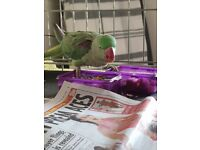 Found alexanderine parrot allerton liverpool, in care of lost and found parrots uk