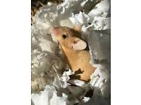 Mice for rehoming