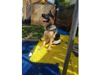 German sheppard 8 month old fully innoculated