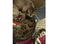 Rosetted brown Bengal female for sale