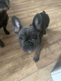French bulldog puppy boy for sale
