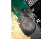 2 x male bunnies 6 month old for sale