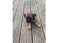 Border terrier girl kc reg