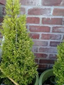 4 lemon conifers in pots