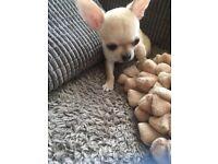 Tiny Chihuahua smoothcoat boy puppy