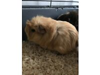 3 beautiful guinea pigs and large cage for sale , guinea pigs cuddly and handled by children
