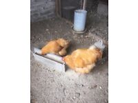 MR & MRS Buff Orpinton chickens