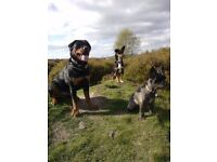Helen's Happy Hounds Worksop. Experienced dog walker.