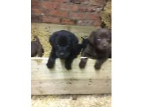 Labrador Puppies For Sale - black bitches 3 left ready now parents can be seen £400