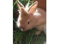 9 week old ginger lionhead doe rabbit