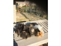 2 Long haired male guinea pigs.
