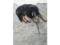 Beautiful male Tibetan mastiff puppy