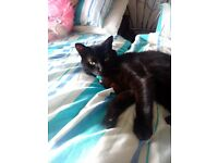 Free to good caring home is black cat sooty, and she is very timed,