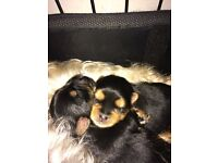 2 x Male Yorkshire Terrier Puppies for Sale
