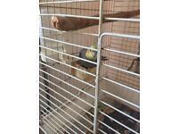 Cockatiel young male