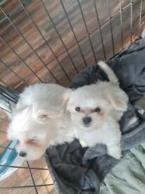 Luxury korean Maltese puppies and mother