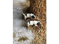 2 Gorgeous Treagle Puppies