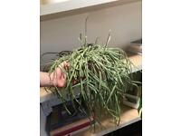 Rhipsalis Baccifera Cactus