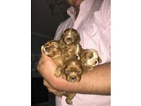 Gorgeous female King Charles puppies