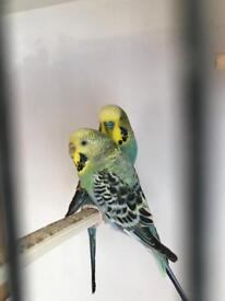 Budgies pair cock and hen
