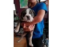 European Old Tyme Bull Dog puppies BLUE & TRI